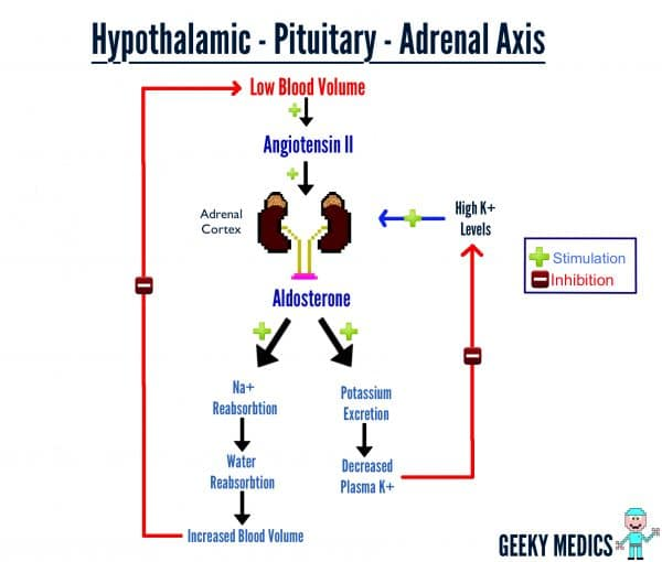 Hypothalamic-Pituitary-Adrenal Axis- Aldosterone