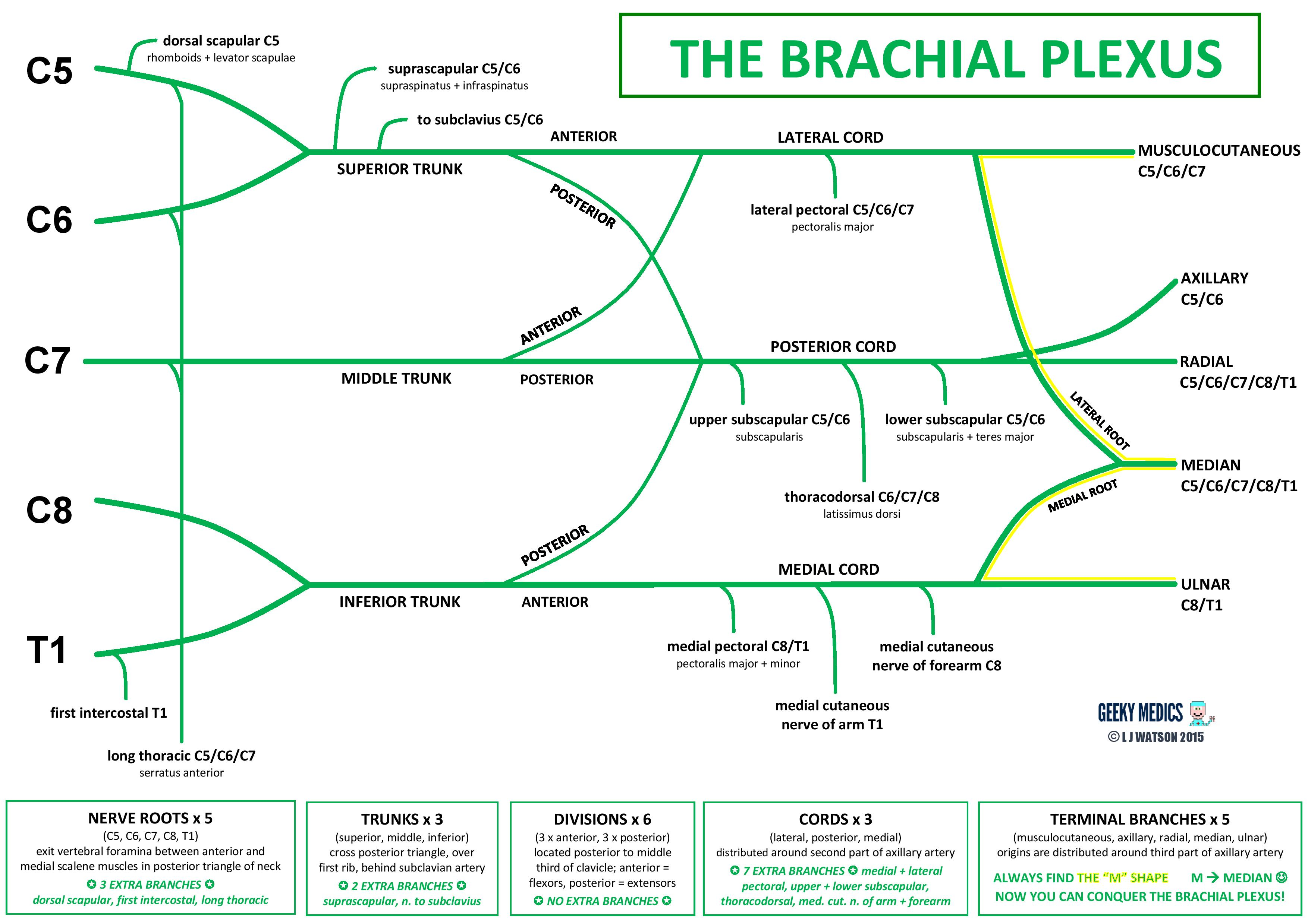 brachial plexus schematic - photo #4