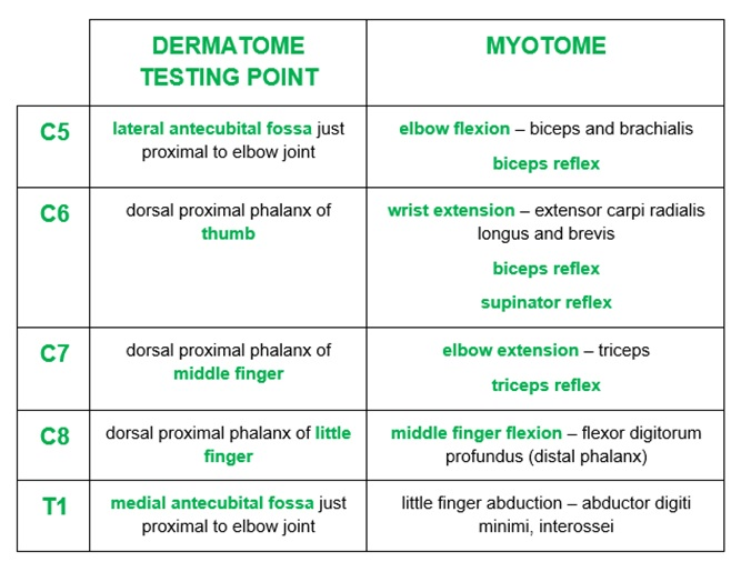 Upper Limb Dermatomes And Myotomesjpg Pictures