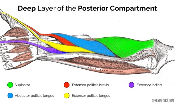 Deep posterior forearm muscles