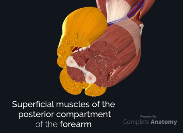 Superficial muscles of the posterior compartment of the forearm