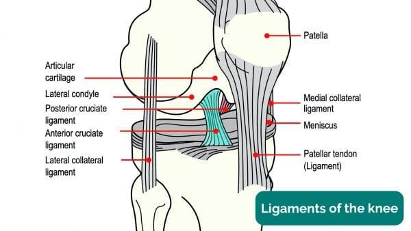 Cruciate ligament anatomy