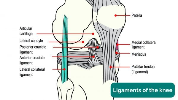 Anatomy of the collateral ligaments