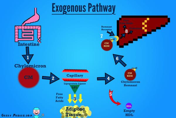 Exogenous cholesterol metabolism pathway