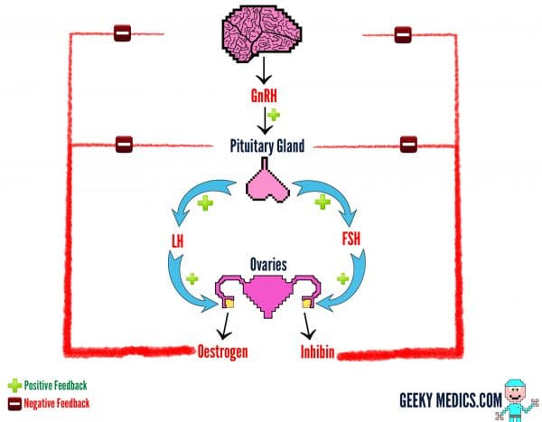 Hypothalamic-Pituitary-Gonadal Axis (HPG axis)