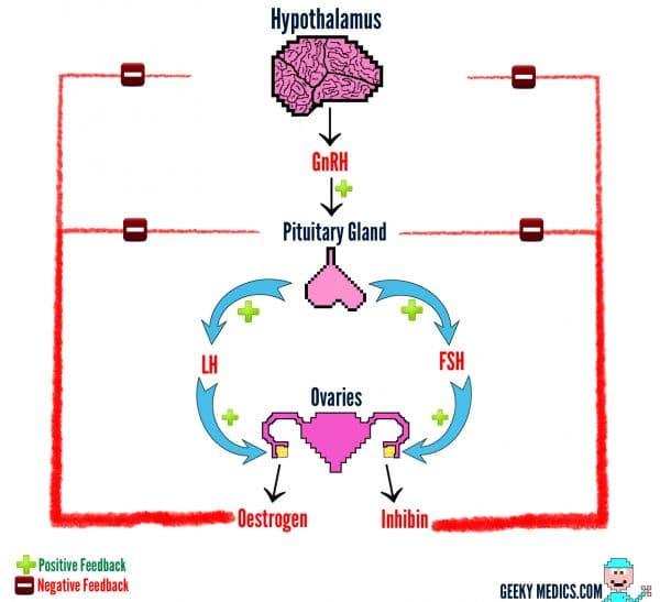Gonadal axis females