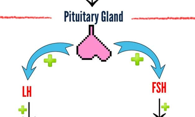 How the gonadal axis works