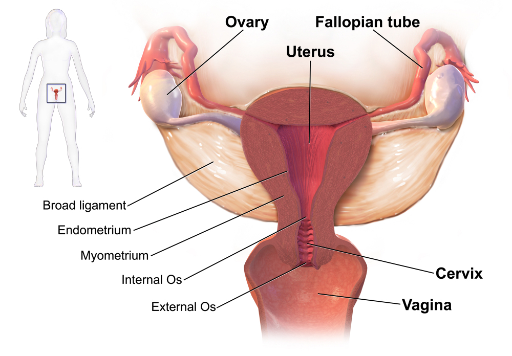 ovarian cancer | geeky medics, Muscles