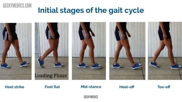 Stages of the gait cycle (1-5)
