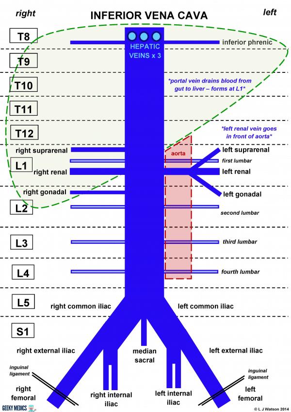 Inferior Vena Cava Branches Diagram