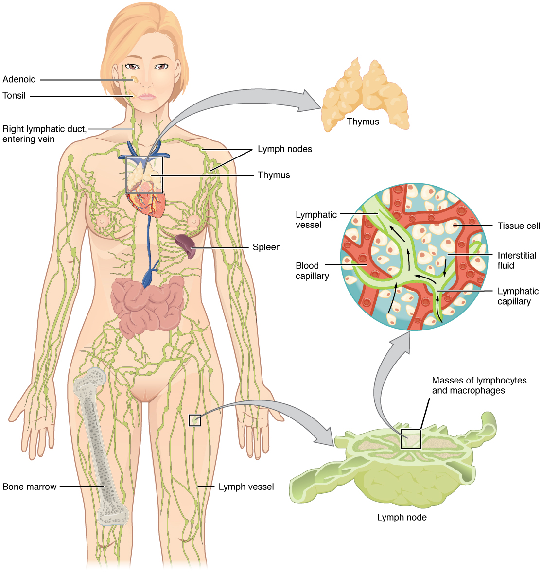 immune response immune cell types geeky medics Diagram of Integumentary Immune System anatomy of the immune system