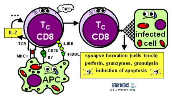 activation and apoptosis