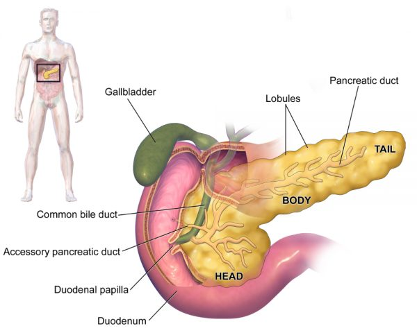 Pancreatic anatomy