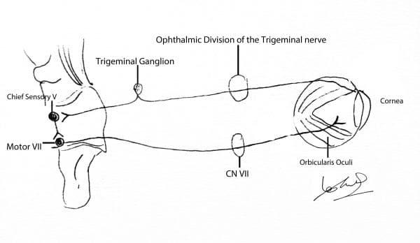 Pathway of the corneal reflex.