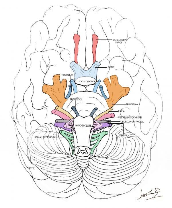 Cranial nerve overview