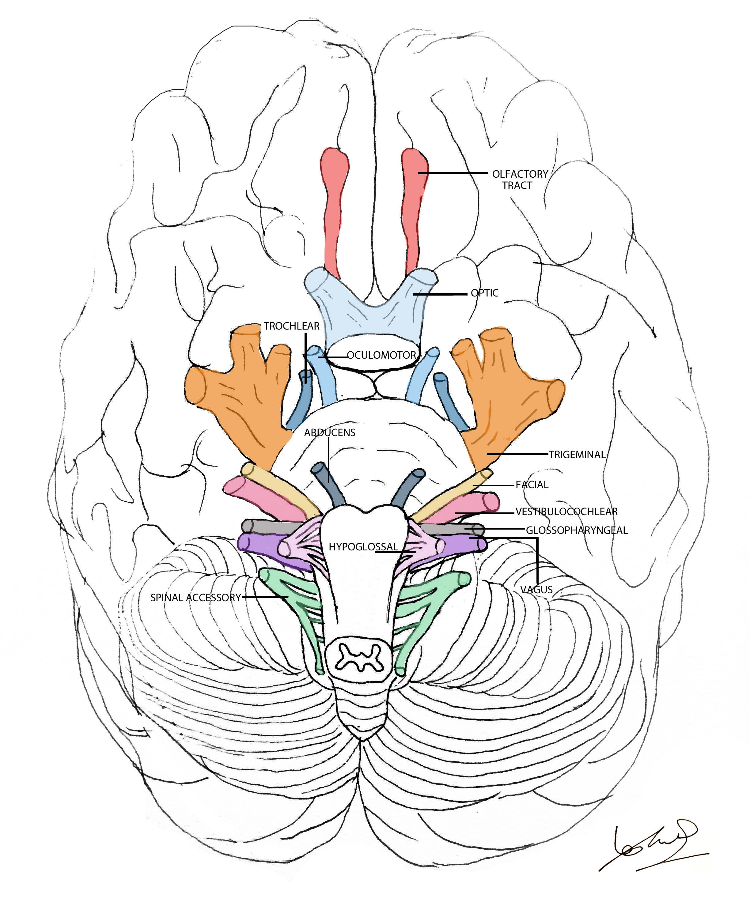 Cranial nerves explained | Geeky Medics