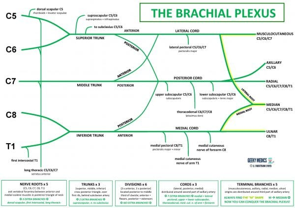 The structure of the brachial plexus