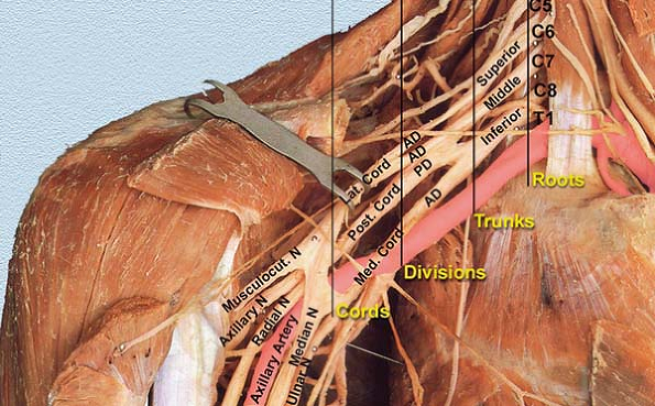 Brachial Plexus Anatomy Roots Trunks Cords Geeky Medics