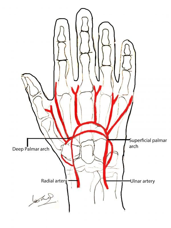 Hand Anatomy Overview | Bones, Blood Supply, Muscles ...