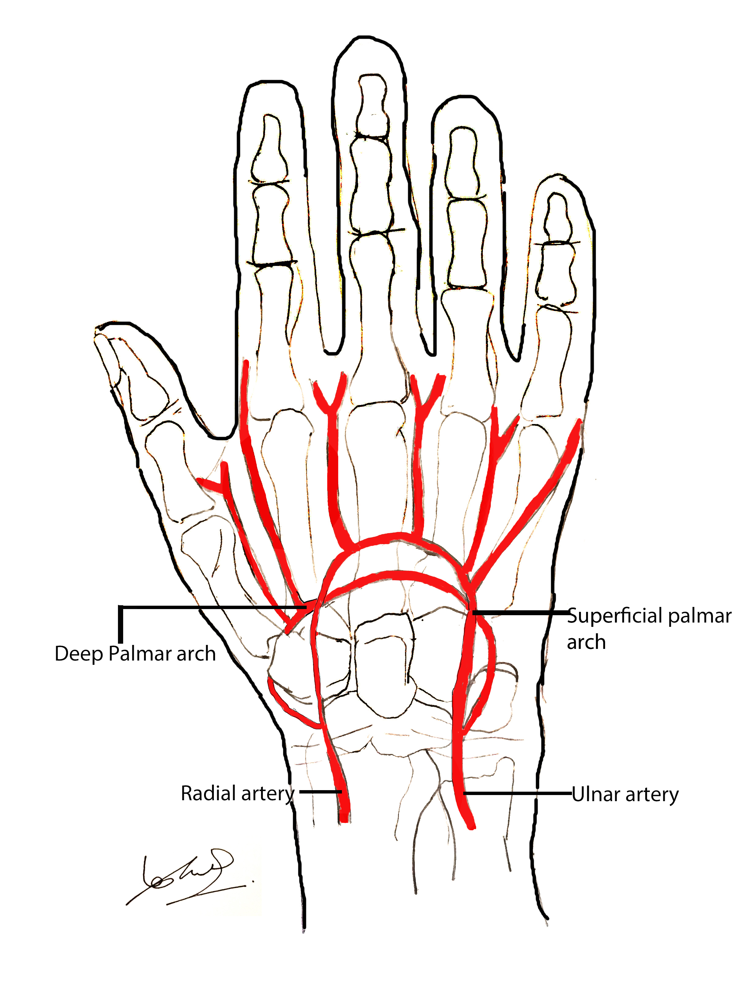 Anatomy of the hand | Geeky Medics