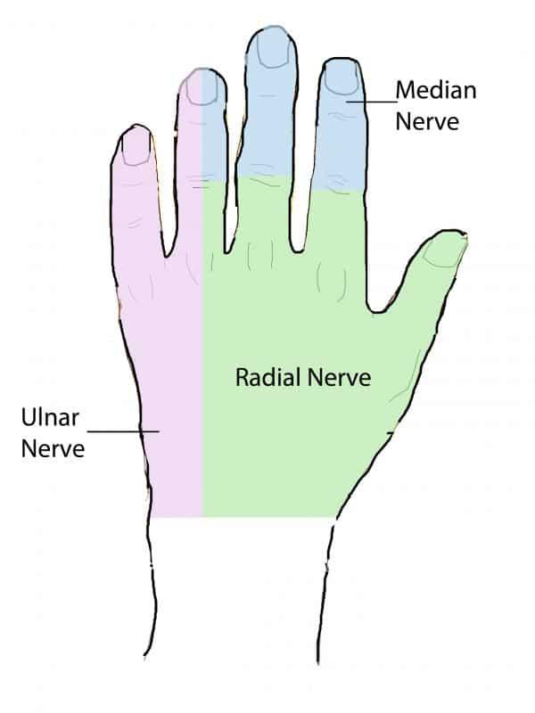 Hand dermatomes (dorsal)