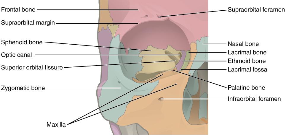 Eye Anatomy Geeky Medics