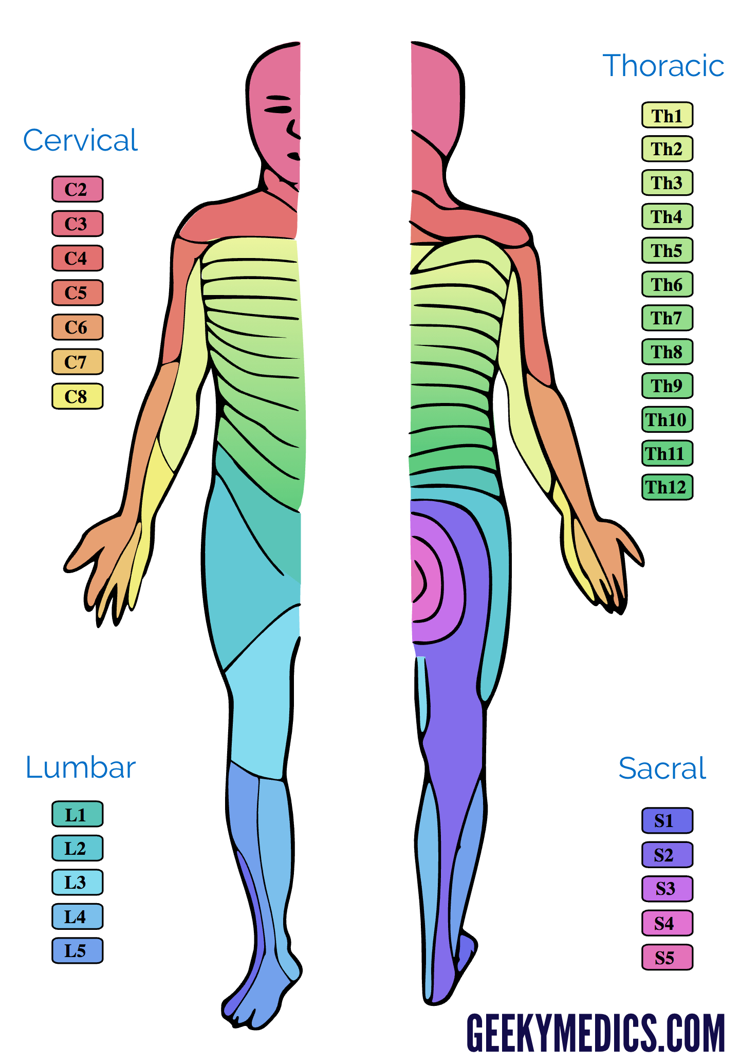 Dermatomes And Myotomes Anatomy Geeky Medics