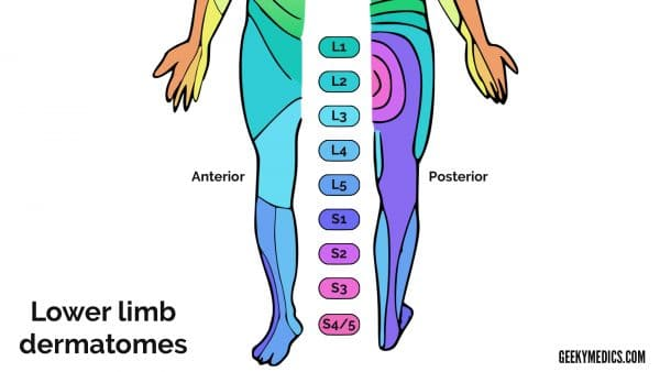 Lower limb dermatomes