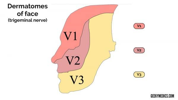 Trigeminal nerve dermatomes