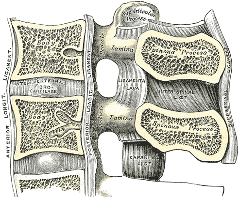 Sagittal section of the Lumbar spine with the ligaments