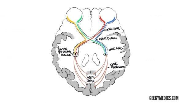 Anatomy of the visual pathways