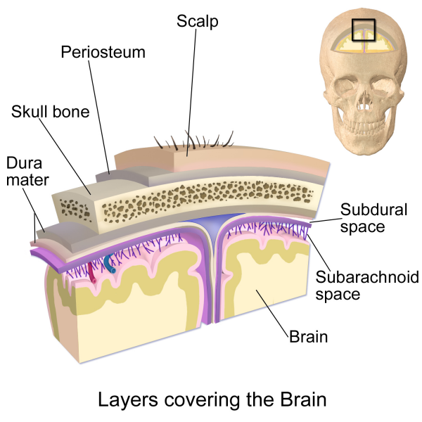 A cross-section of the layers covering the brain. The layers can be remembered using the mnemonic SCALP - Skin, Connective Tissue, Epicranial Aponeurosis, Loose Connective Tissue and Periosteum.