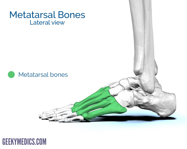 Bones Of The Foot Tarsal Bones Metatarsal Bone Geeky Medics