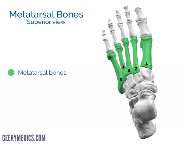 Metatarsal bones of the foot (superior view)