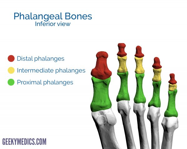 Phalangeal bones of the foot (inferior view)