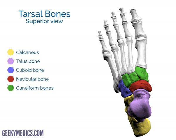 Tarsal bones of the foot (superior view)