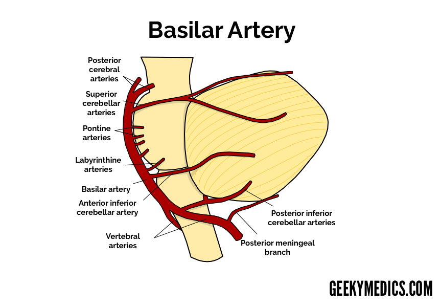 Arterial Supply Of The Brain Circle Of Willis Geeky Medics