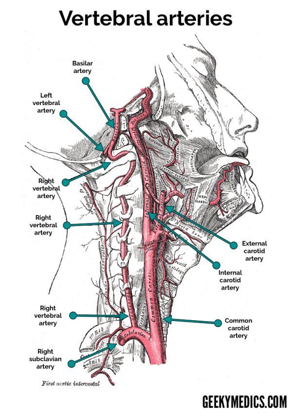 Vertebral arteries