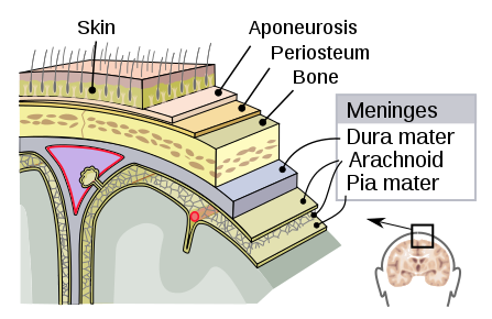 Section of brain showing meningeal layers
