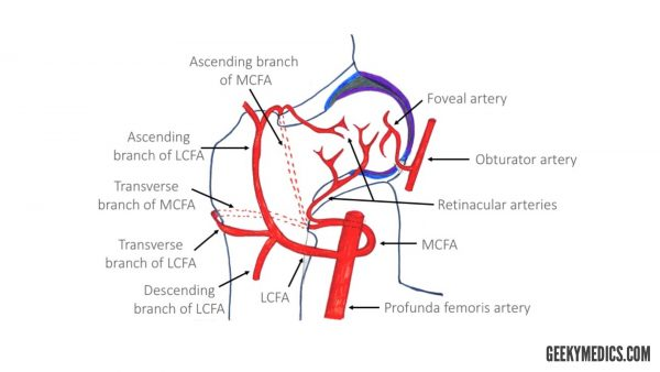Arteries of the hip