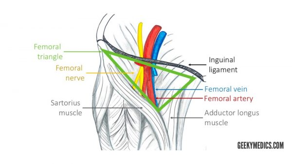 Structures in the femoral triangle