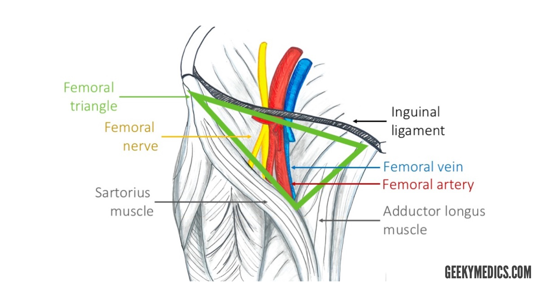 Arterial Supply of the Thigh and Gluteal Region | Geeky Medics