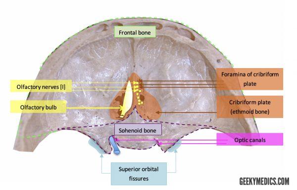 Anterior Fossa Foramina