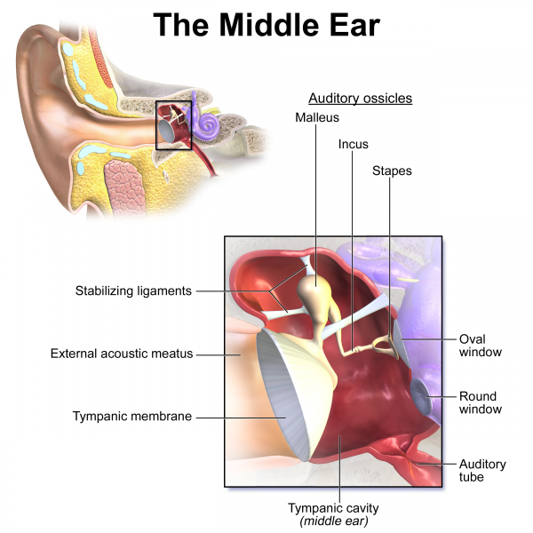 The Middle Ear and Ossicles