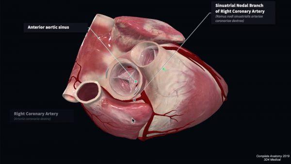 Sinoatrial node branch of the right coronary artery