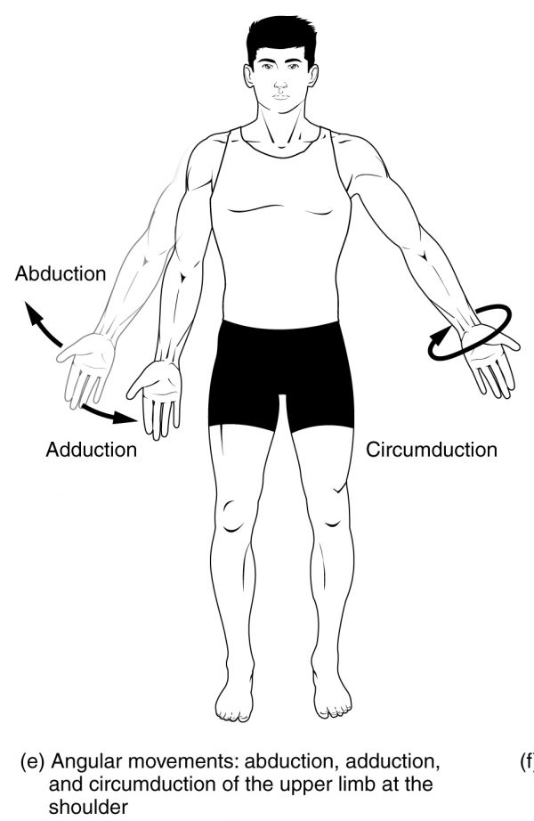 Abduction, Adduction and Circumduction Movements