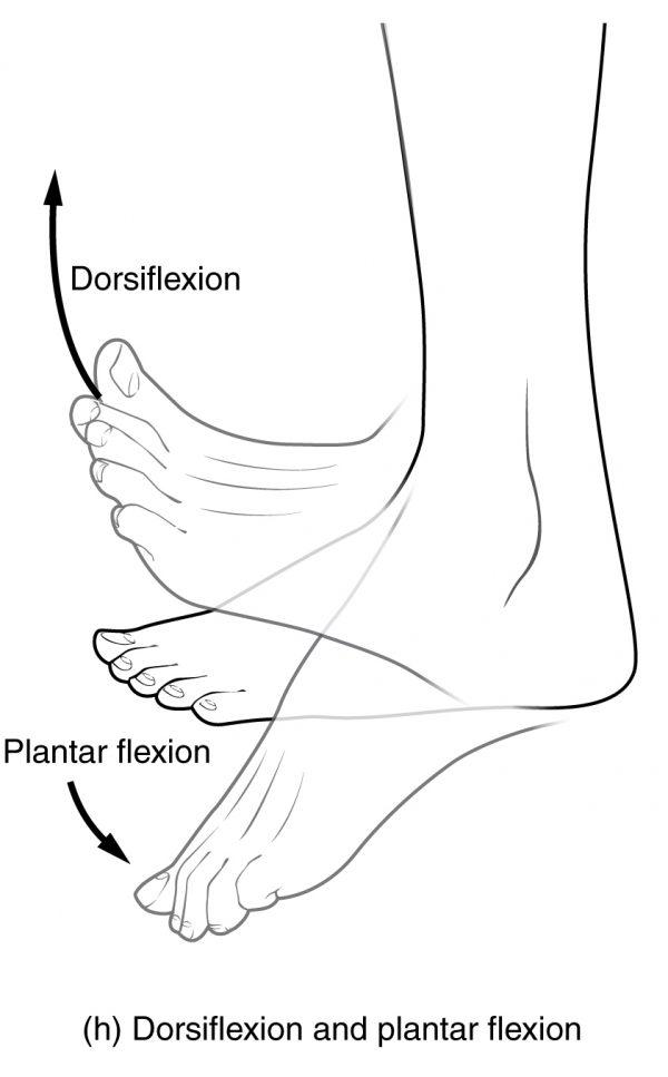 Dorsiflexion and Plantar Flexion Movements