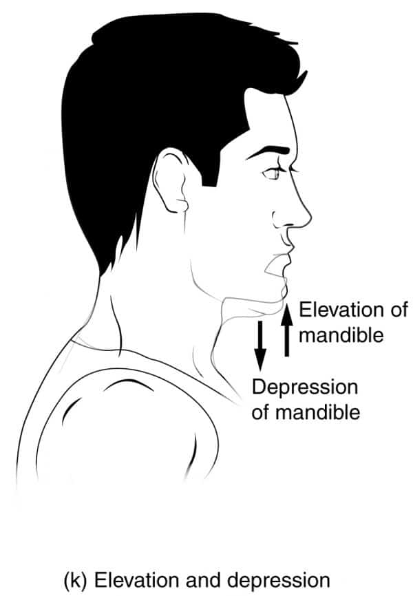 Elevation and Depression Movements of the Jaw