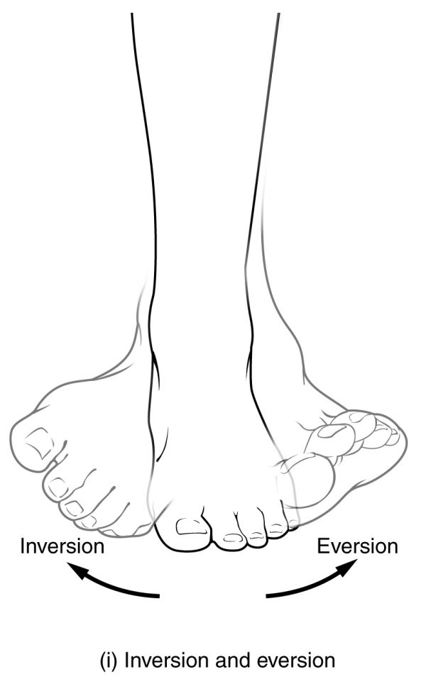 Eversion and Inversion Movements