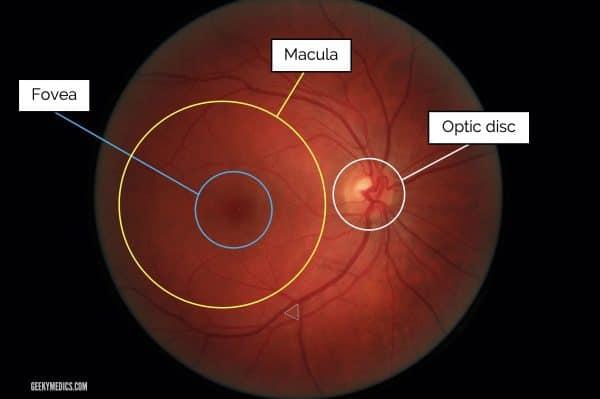 Normal fundus (eye)